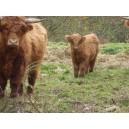 Higland Cattle femelle 09/14